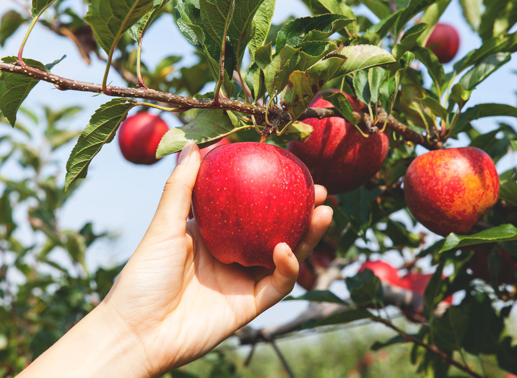 Picking red apple from tree