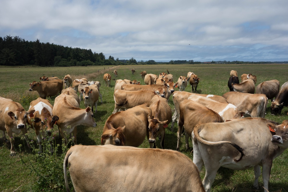 the grass-fed cows of naked nutrition on a clear summer day