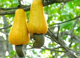 Cashew fruit and nut growing on tree