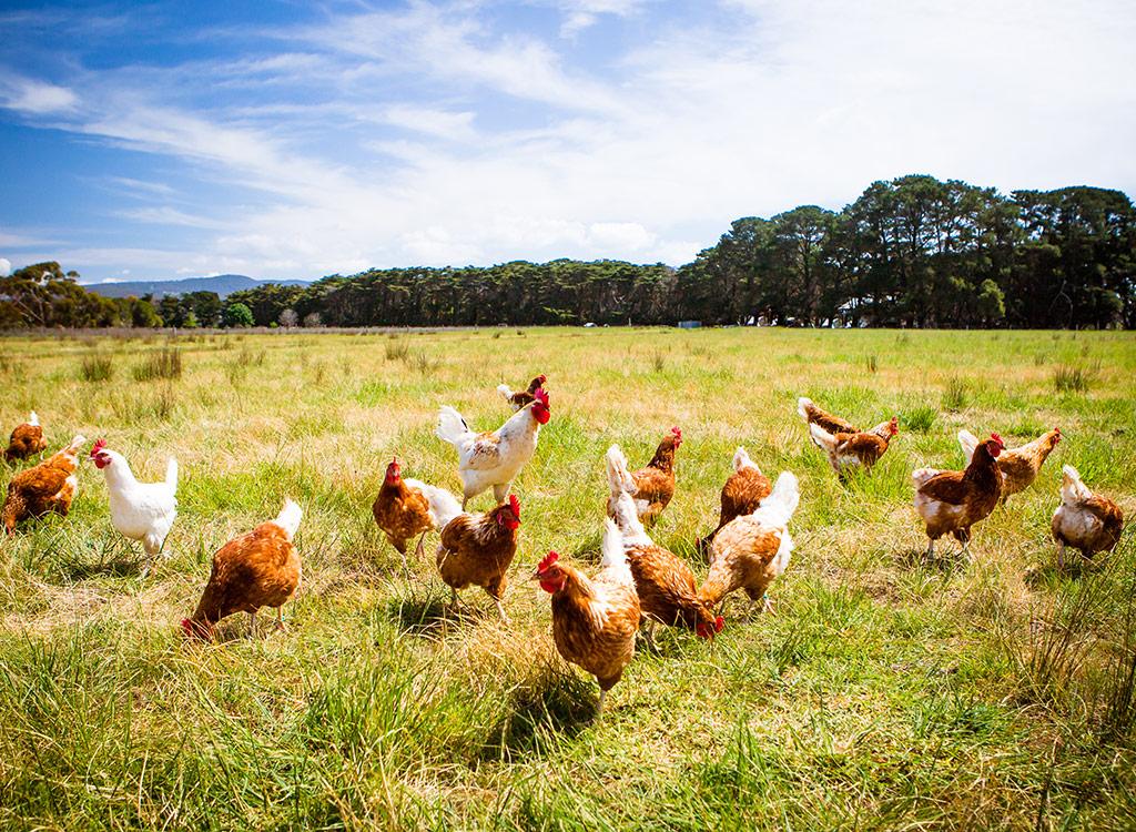 chickens roaming around