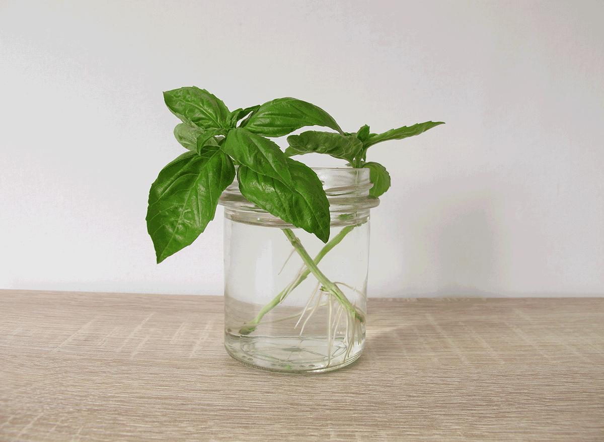 regrowing basil leaves at home