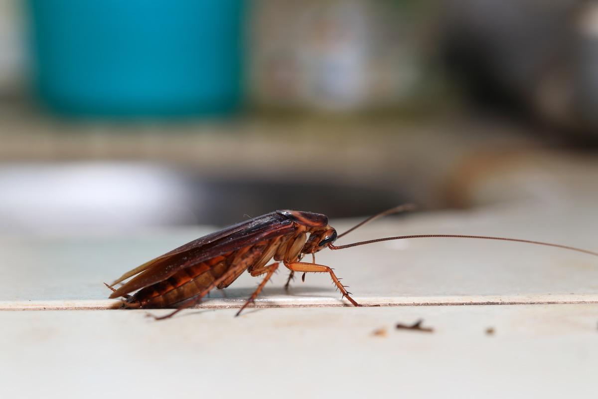 cockroach Blattodea crawling around the kitchen