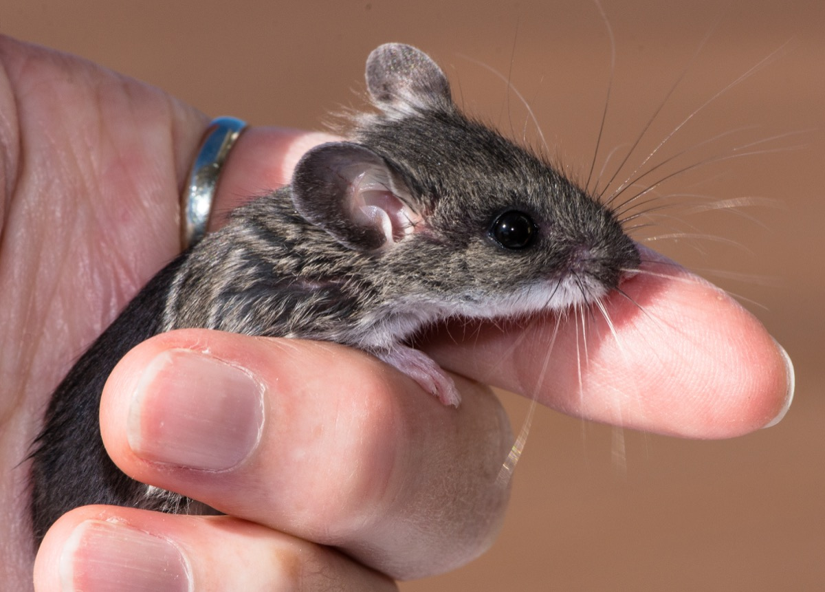 human hand loosely holding a gray field mouse
