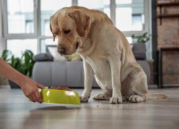labrador watching at meal at home