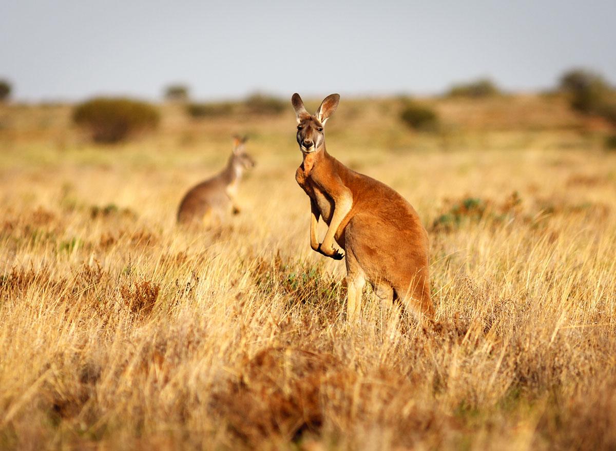 red kangeroo in field