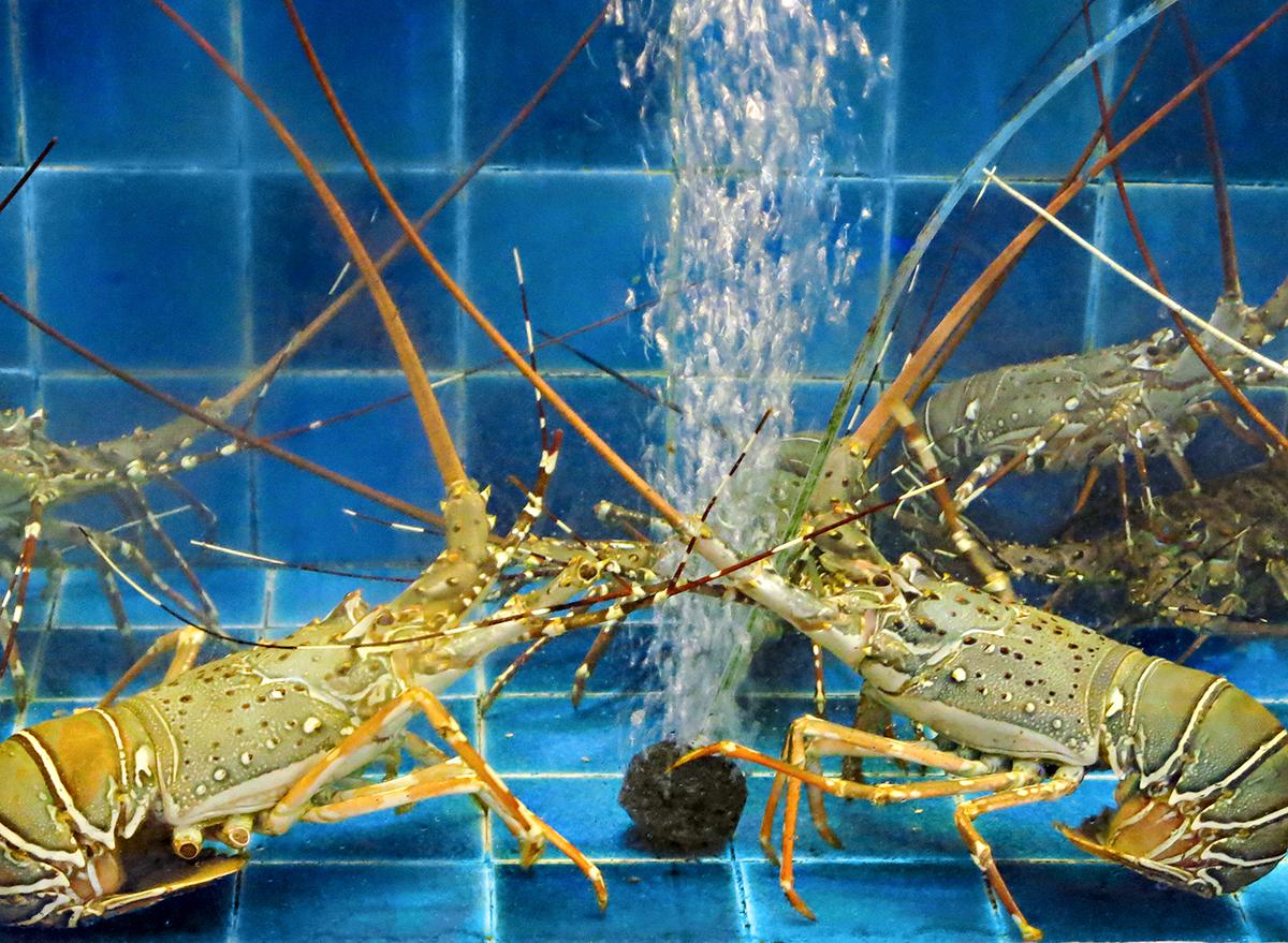 multiple lobsters in tank at aquarium restaurant