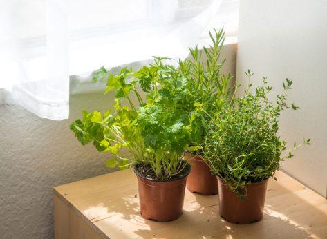 Indoor herb garden by window