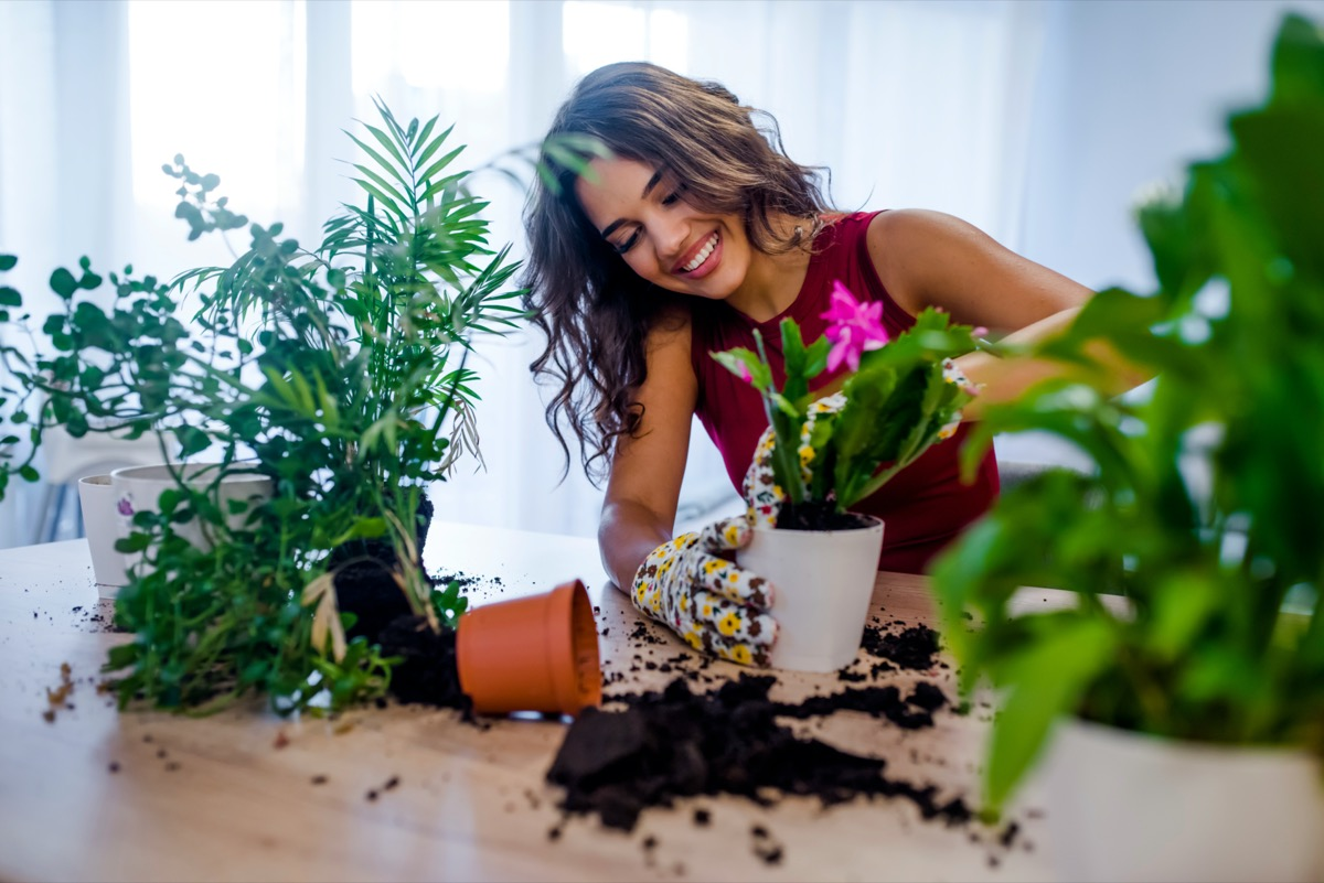 Woman potting some plants in pots on a counter at home. female gardener planting flowers in pots