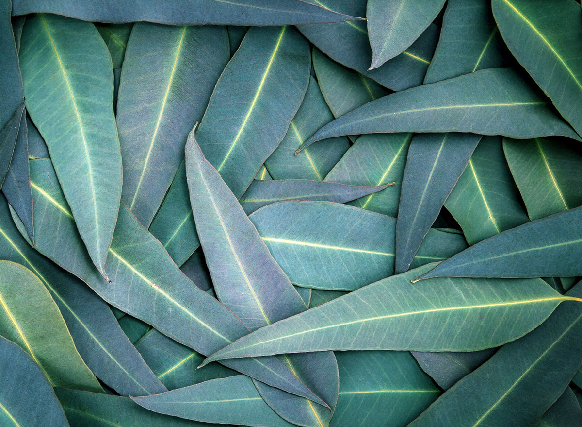 foods for cough eucalyptus leaves