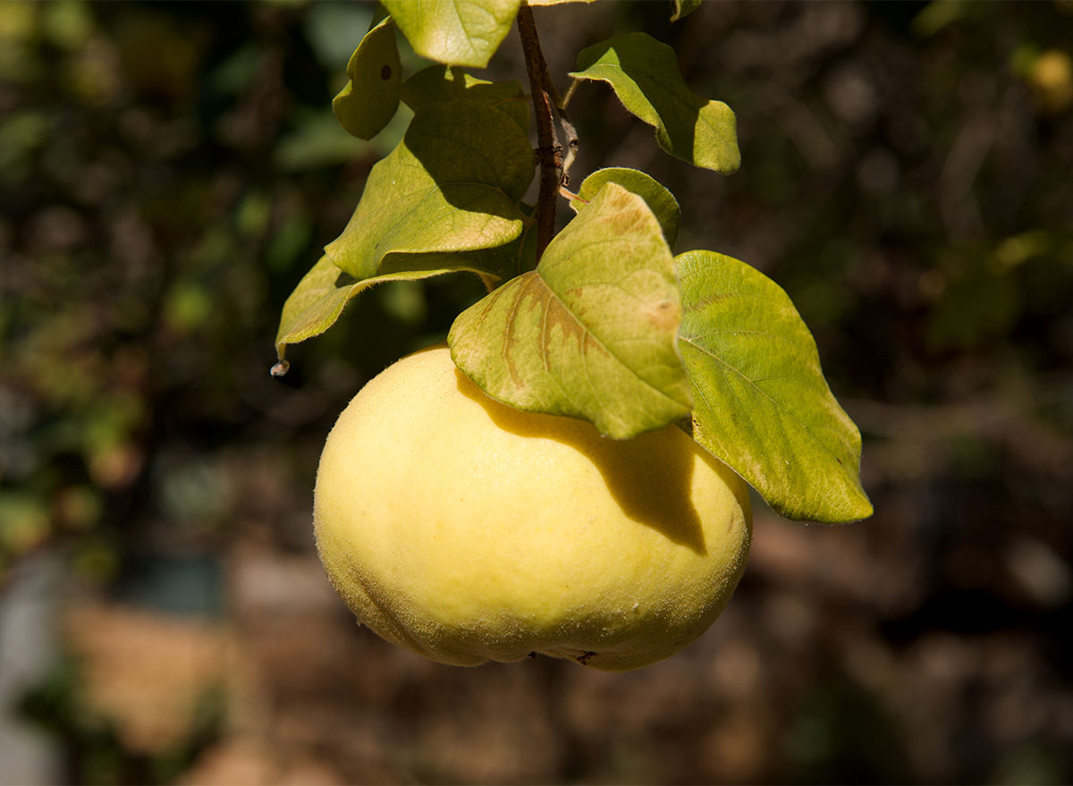 fresh quince on a tree