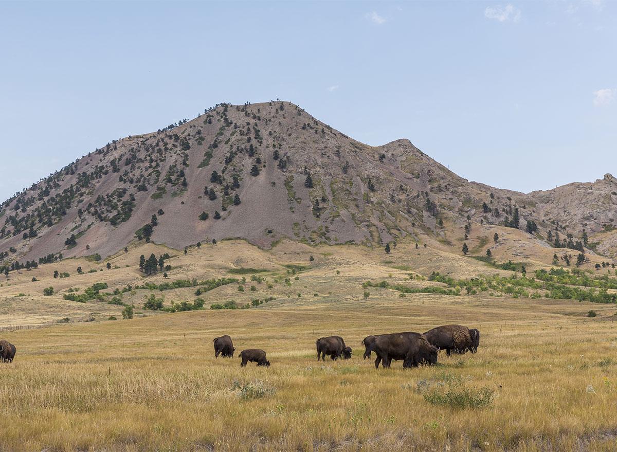 bear butte south dakota with bison