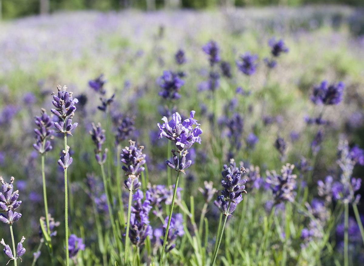 cape cod lavender field