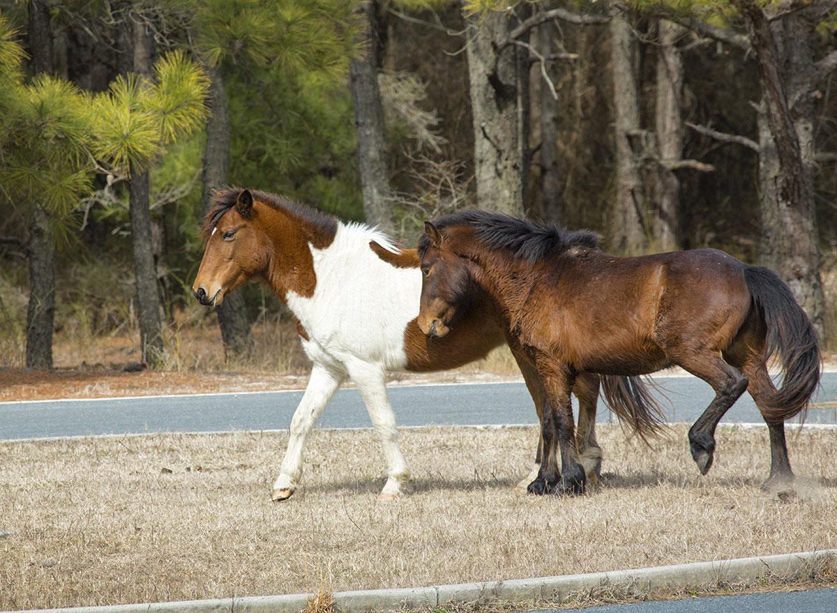 horses on assateague island in maryland