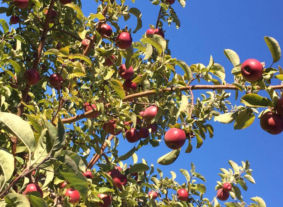 adams apple orchard vermont