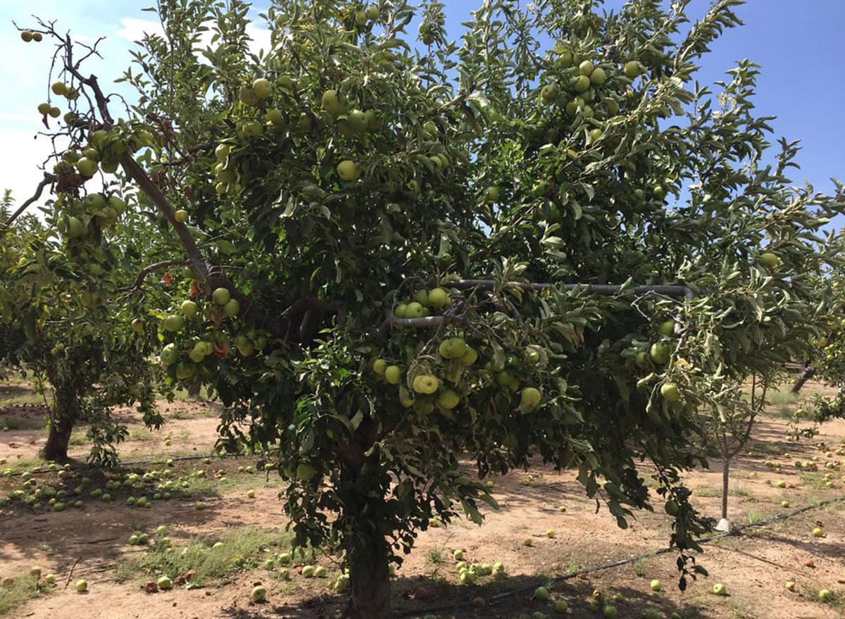 apple annies arizona