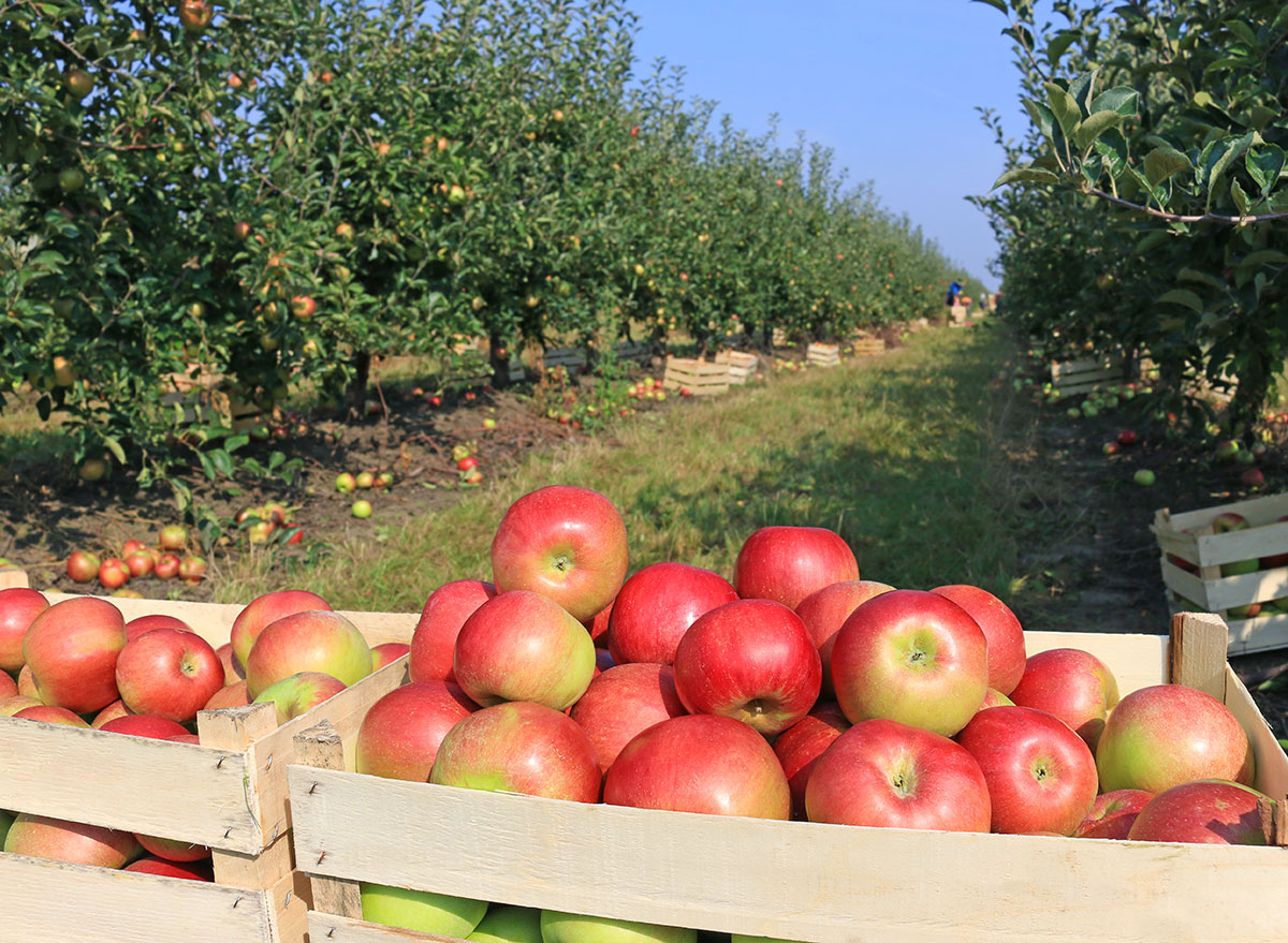apple picking orchard