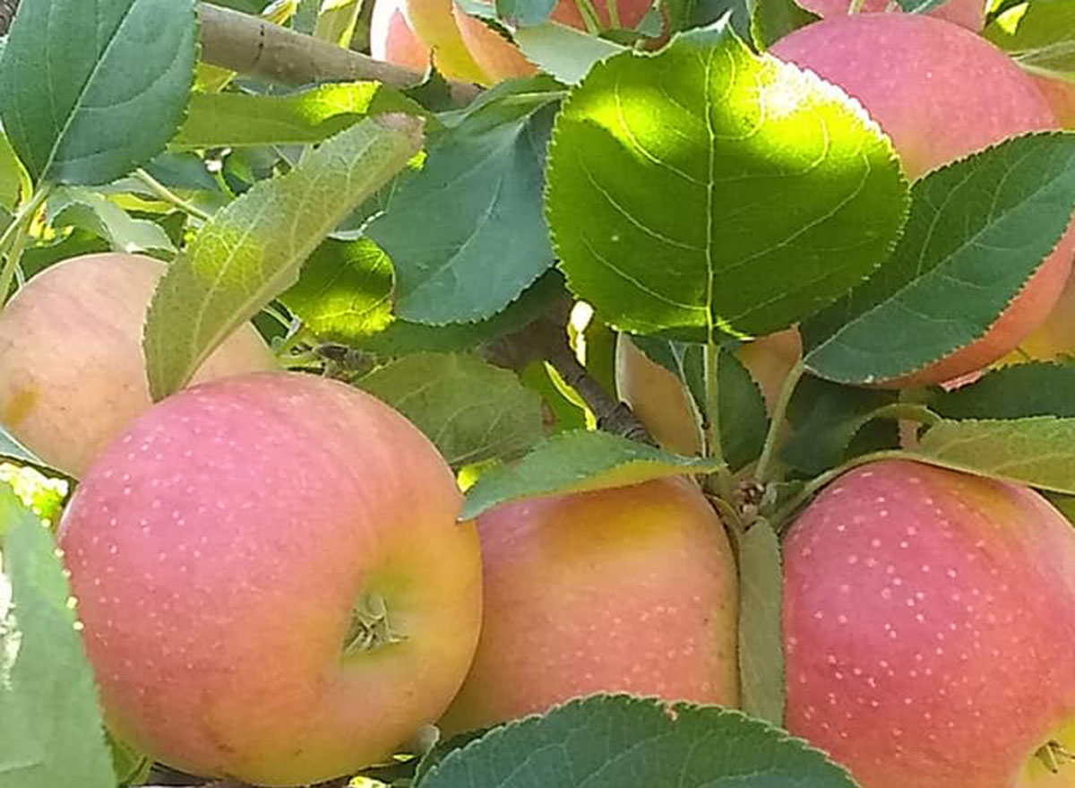 mesilla valley apples new mexico