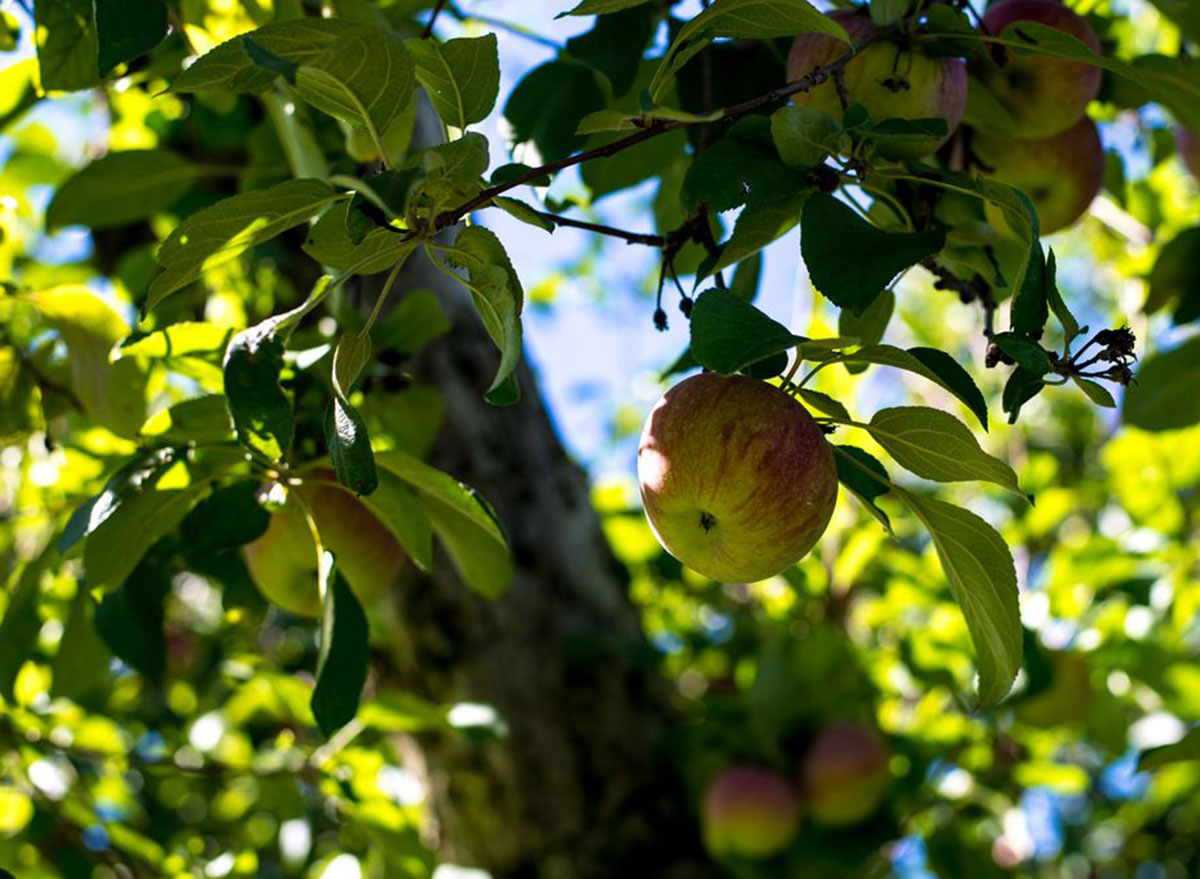 ochs orchards new york