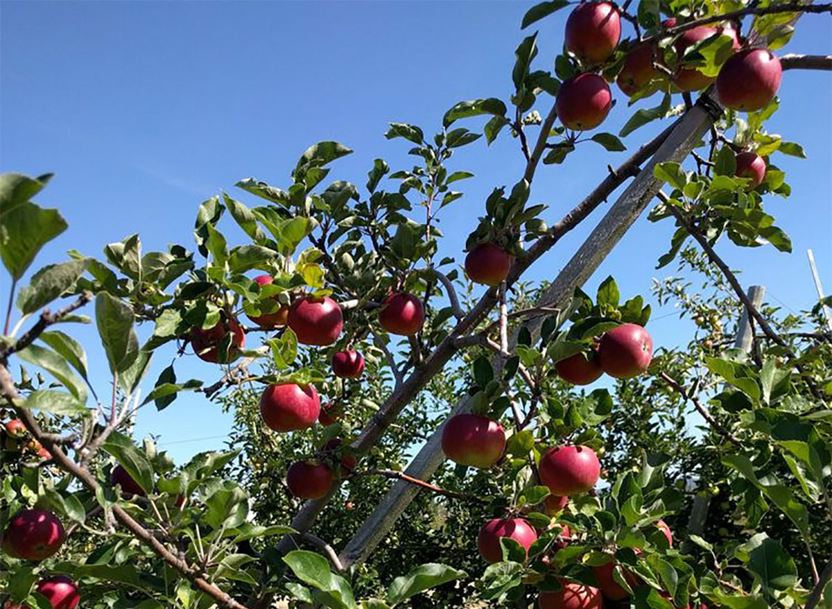 apples on trees at apple orchard