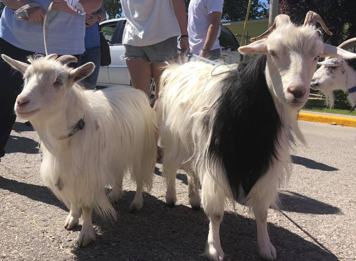 two goats standing outside
