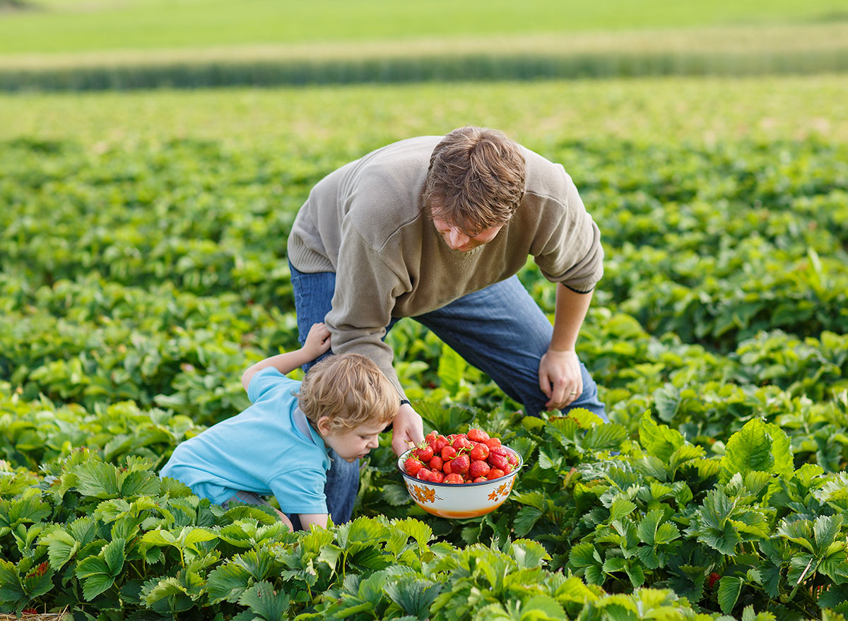 father son picking berries