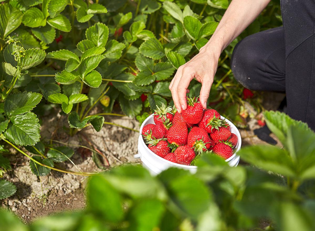 hand picked strawberries