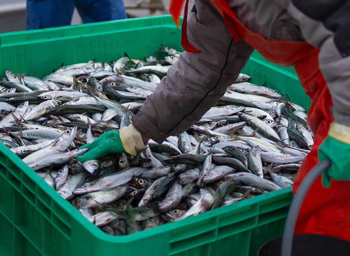 fresh caught fish