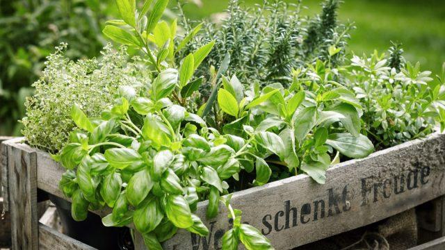 herb garden in a wooden planter
