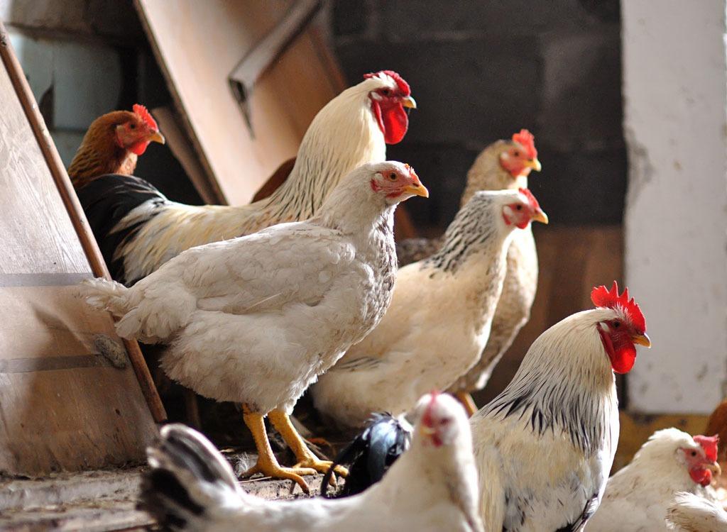 chicken indoors