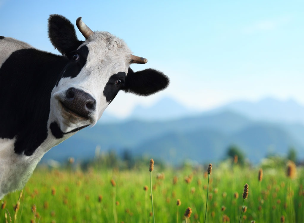 Meatless March plan cow