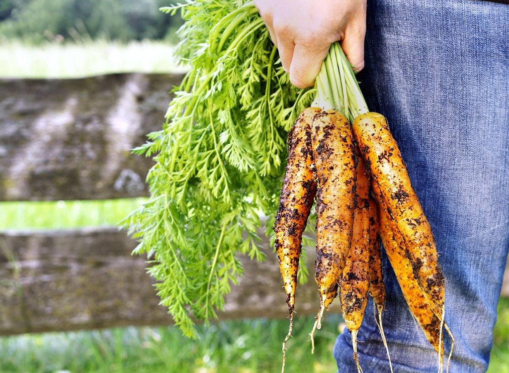 Man holding freshly harvested carrots by the stem with dirt on them